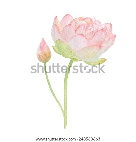 Watercolor pink lotus and a small lotus bud - stock photo