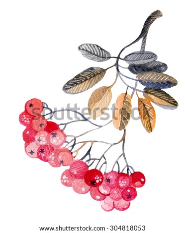 Watercolor rowan branch for winter background. Hand painted illustration - stock photo