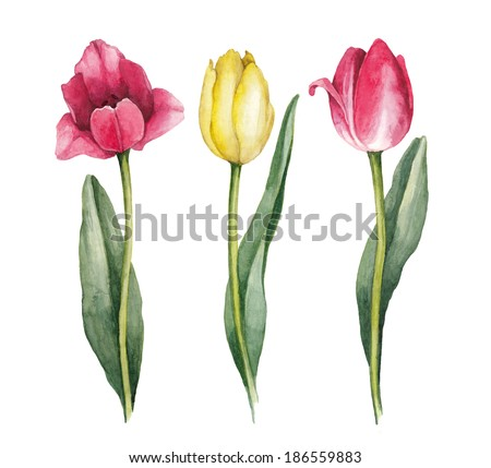 Watercolor tulips on a white background  - stock photo