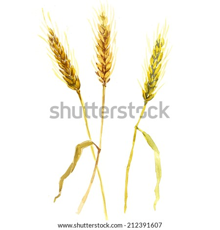 watercolor wheat ears isolated - stock photo