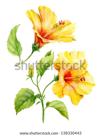Watercolor yellow hibiscus - stock photo