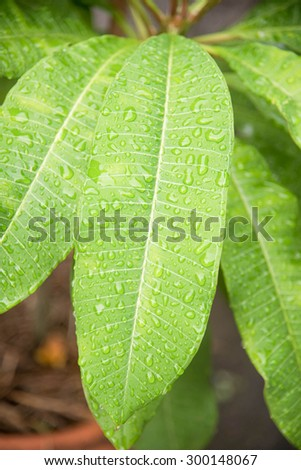 waterdrop on plumeria leaf can be used as background - stock photo