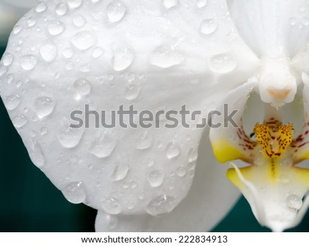 Waterdrops on a white Phalaenopsis Orchid - stock photo