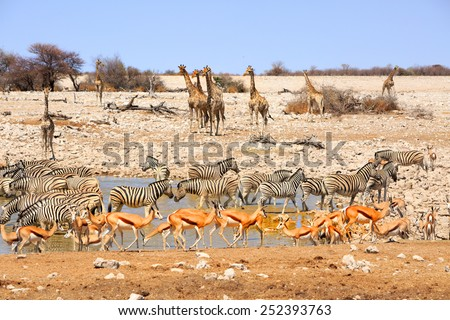 Waterhole in Etosha teeming with many different varieties of animals including, giraffe, zebra, springbok, Oryx - stock photo