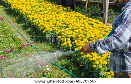 Watering flowers with a watering can near yellow flowers garden. - stock photo