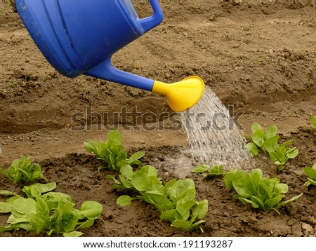 watering of vegetable bed with rows of spinach - stock photo