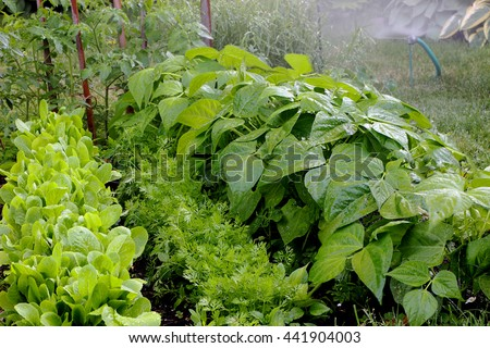 Watering outdoor home vegetable garden.  Left to right, romaine lettuce, carrots and bush beans.  Could also be used for irrigation or drought concept - stock photo