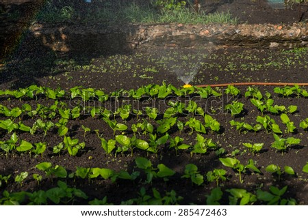 Watering Rows of Young Green Seedlings Sprouting in Dark Soil Growing in Small Vegetable Garden - stock photo