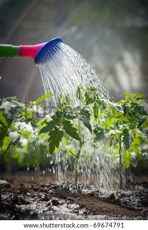 watering seedling tomato - stock photo