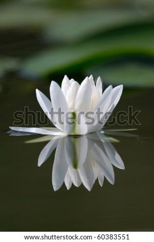waterlilly - stock photo