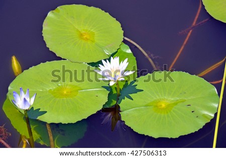 Waterlily flower and leaves in a pond - stock photo