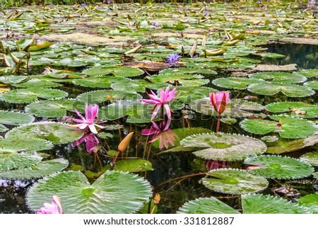 Waterlily in garden pond - stock photo