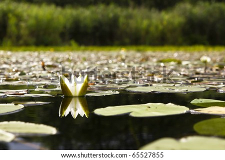 waterlily on the lake - stock photo