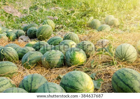 Watermelon in a vegetable garden for harvest. - stock photo