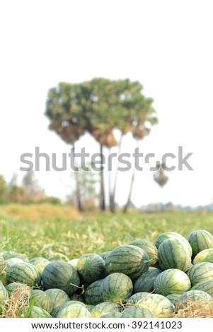 Watermelons in vegetable garden - stock photo