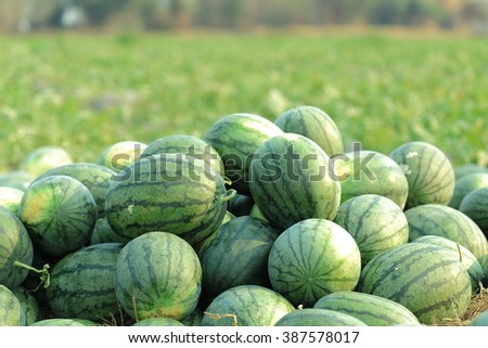 Watermelons in vegetable garden for harvest. - stock photo