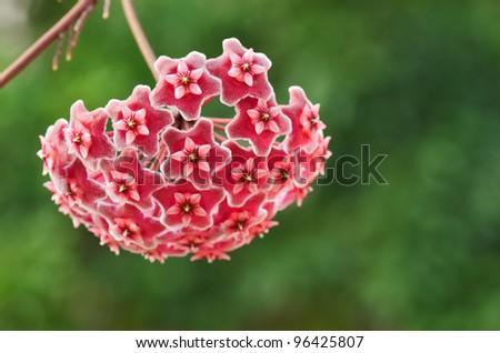 wax plant (Hoya Pubicalyx) - stock photo