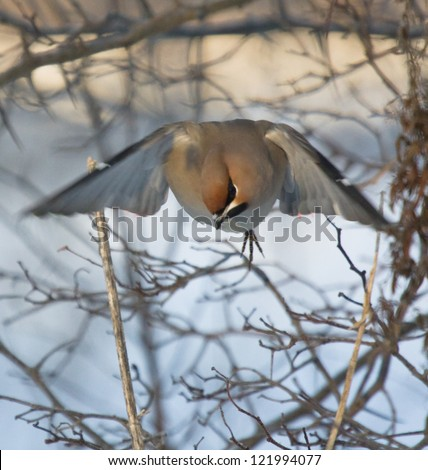 Waxwing flew from branch - stock photo