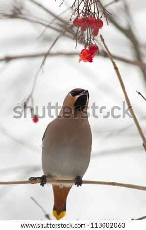 Waxwing on the branch - stock photo