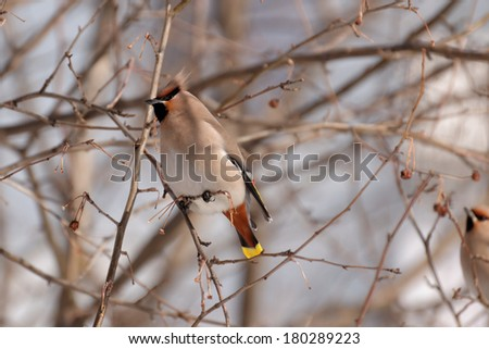Waxwing perched a on branch. Winter - stock photo