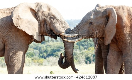 We had Water - The African bush elephant is the larger of the two species of African elephant. Both it and the African forest elephant have in the past been classified as a single species. - stock photo