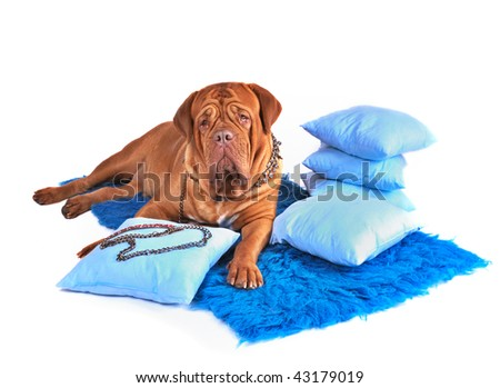 Wealthy Dog in Jewellery Lying on Luxurious Carpet - stock photo
