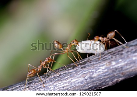 weaver ants are moving their egg - stock photo