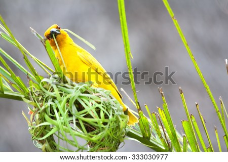 Weaving bird (golden palm weaver - Ploceus bojeri) is building a new nest, Africa - stock photo