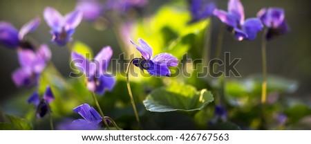 Website banner of beautiful purple violet flower in spring - stock photo