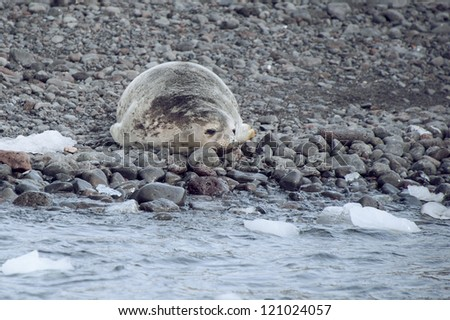 Weddell seal on the beach in Antarctica - stock photo