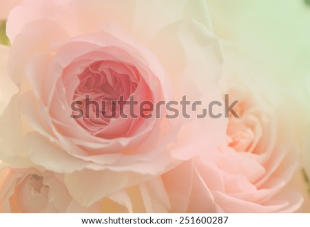 Wedge rose, English rose, close up for background - stock photo