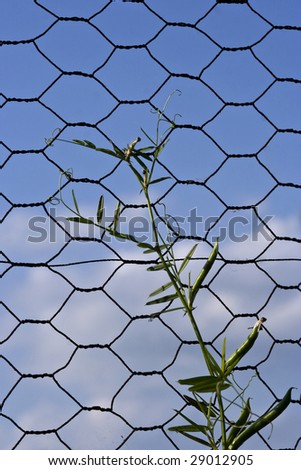 Weed growing up through chicken coupe - stock photo