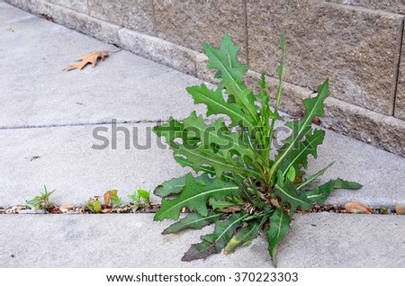 Weed (Sow Thistle - Sonchus) Growing in Crack of  Sidewalk - stock photo