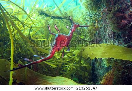 Weedy Seadragon - stock photo