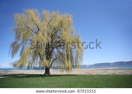 Weeping willow at a lake in springtime, USA - stock photo