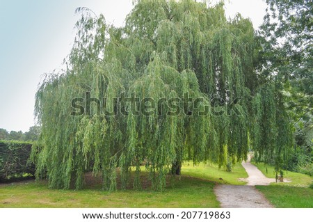 Babylonian Willow Tree Weeping Willow Ornamental Tree