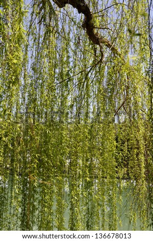 Weeping willow veil - stock photo