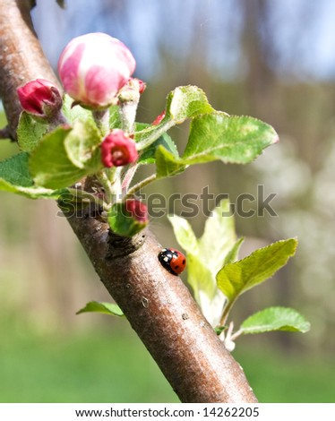 weevil on apple branch with flowers - stock photo