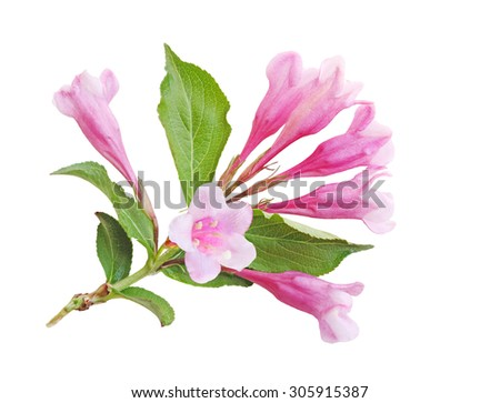 Weigela blossom flower isolated on white background - stock photo