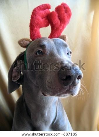 Weimaraner Christmas Antlers - stock photo
