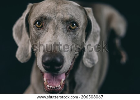 weimaraner dog  - stock photo