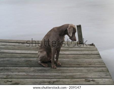 Weimaraner Dog - stock photo