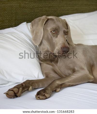 Weimaraner Dog Comfy in Bed - stock photo