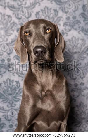 Weimaraner Dog headshot instudio - stock photo