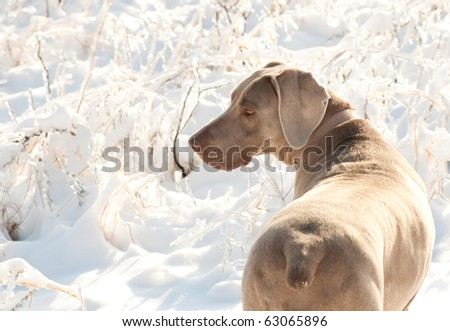 Weimaraner dog in a frozen, snowy winter world on a cold, sunny day - stock photo