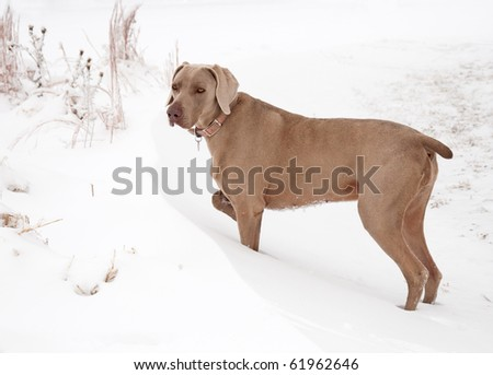 Weimaraner dog in a snowdrift on a cold winter day - stock photo