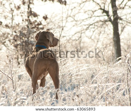 Weimaraner dog in an icy, glittering world after an ice storm - stock photo