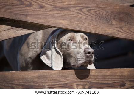 weimaraner dog looking through fence - stock photo