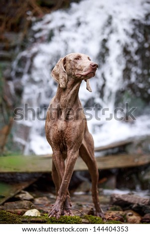 weimaraner dog near waterfall - stock photo