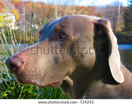 Weimaraner dog pet - stock photo